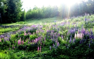 Morning lupins