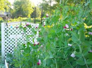 Garden sweet peas