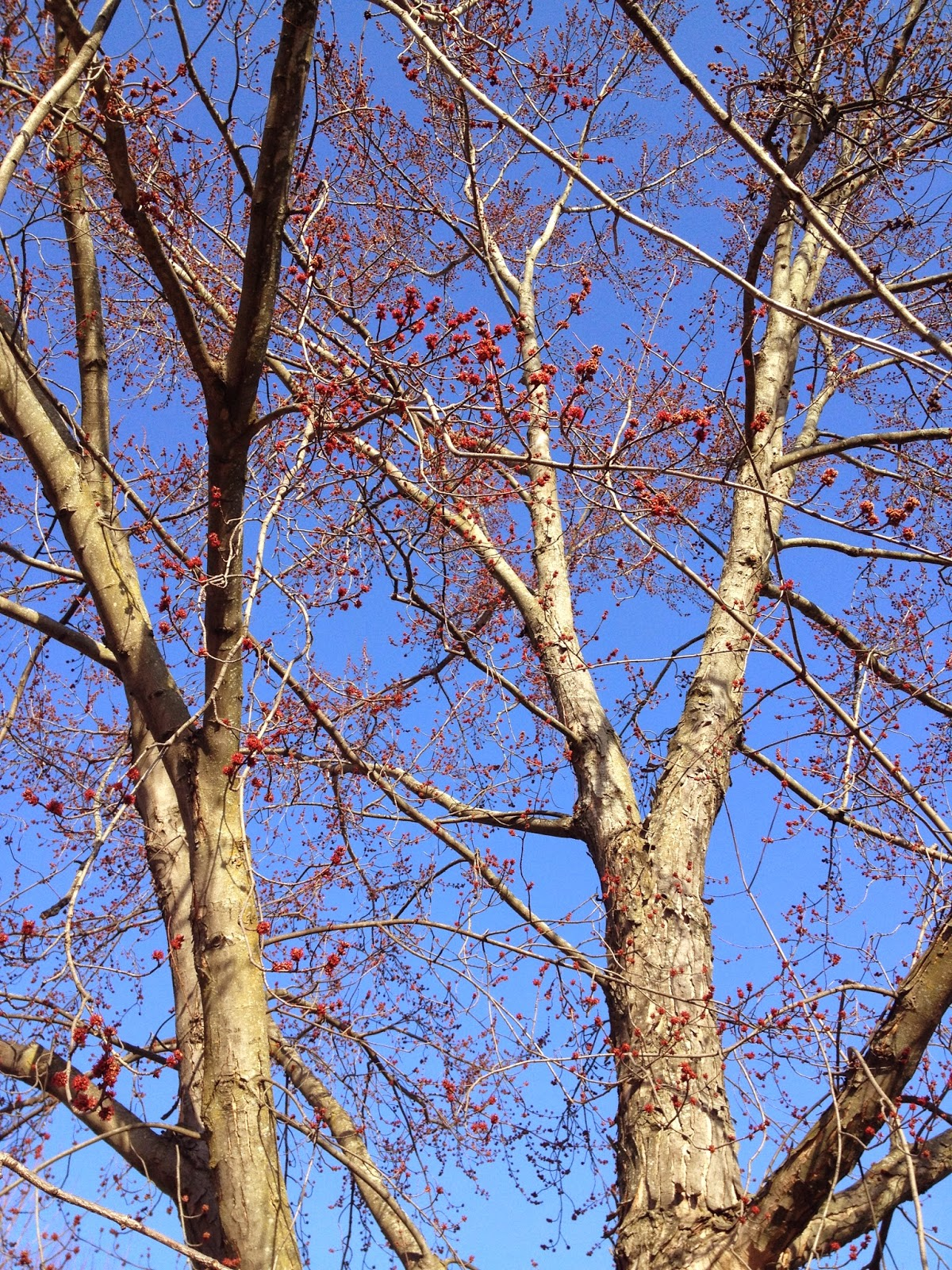 Silver maple buds in march