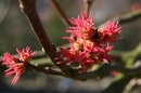 Silver maple flowers