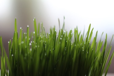 Wheatgrass Grass Drop Of Water