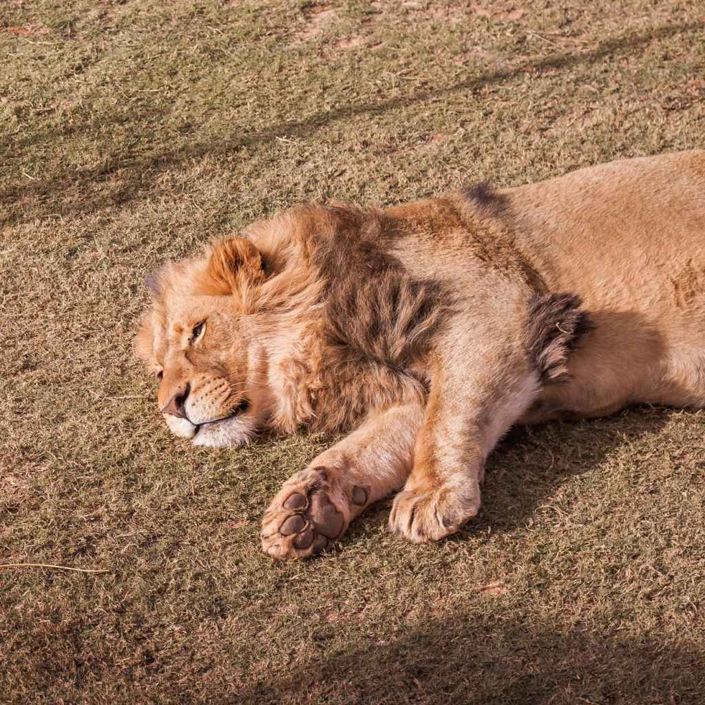 brown lion lying on ground