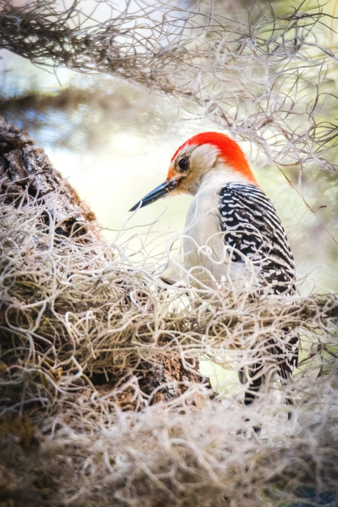 focus photography of northern flicker